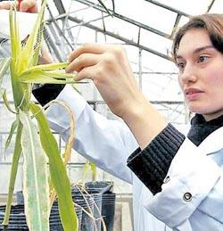 Hernan Jaramillo Investigación universitaria cultivo