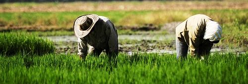 boris pinto alimentos transgenicos arroz tolima