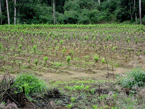 Cultivo de plantas de marihuana.