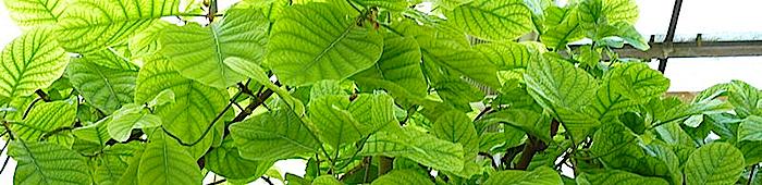 Planta de Quina en el invernadero del Instituto Alemán para la Agricultura Tropical y el Subtropical en Witzenhausen, Alemania.