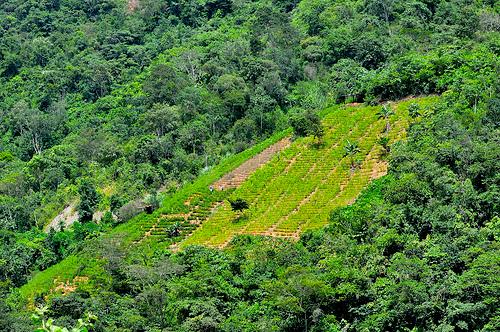 Campos de cultivo de coca en medio de la selva.