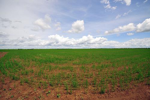Terreno sembrado con arroz en los Llanos Orientales.