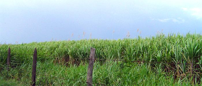 Cultivo de caña de azúcar a las afueras de Cali, en el Valle del Cauca.