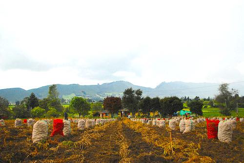 Cultivo de papa en Tenjo, Cundinamarca.