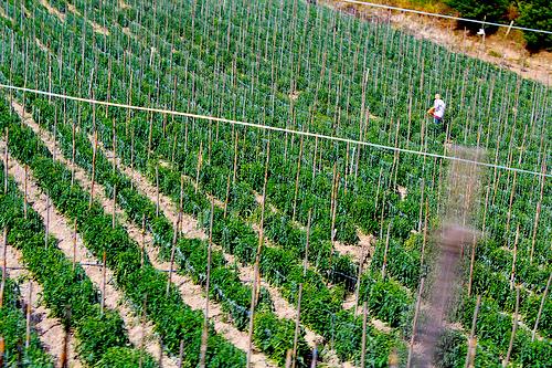 Cultivo en Norte de Santander.