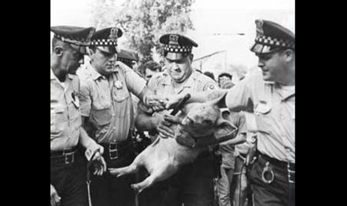 Pigasus capturado, Chicago 1968.