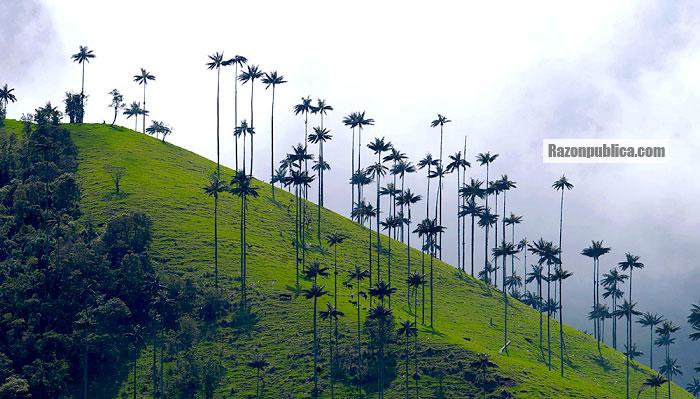 Valle del Cocora.