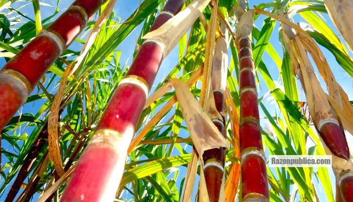 Cultivos de caña de azúcar, de donde se produce el azúcar.
