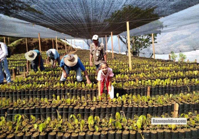 Sustitución de cultivos ilícitos con cacao