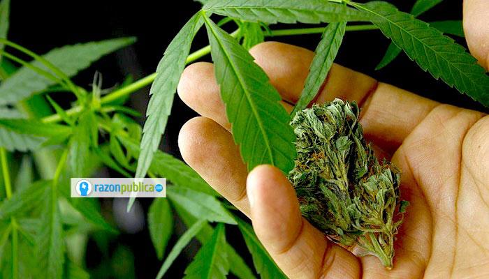 Si en Colombia hubiera investigación y se desarrollaran medicamentos a base de esta planta podría conseguirse un mercado externo más estable